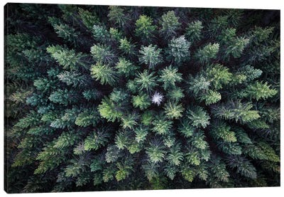 Dead Tree Surrounded By Alive Trees, Drone Photo. Canvas Art Print