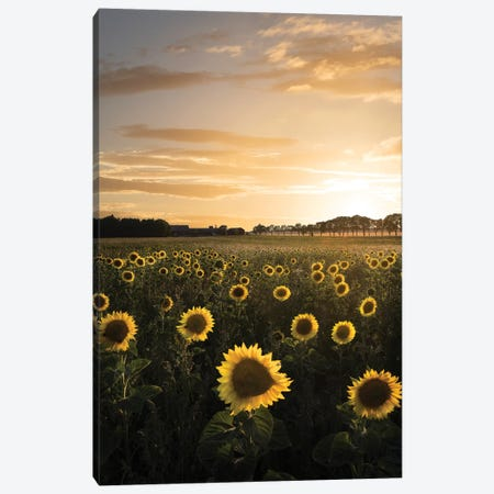 Sunflowerfield In Sweden Canvas Print #CLI22} by Christian Lindsten Canvas Art