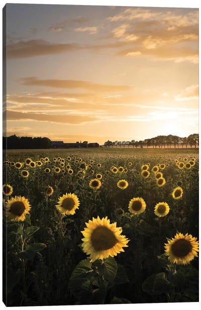 Sunflowerfield In Sweden Canvas Art Print