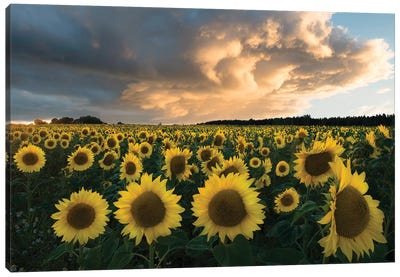 Sunflowers In Sweden. Canvas Art Print