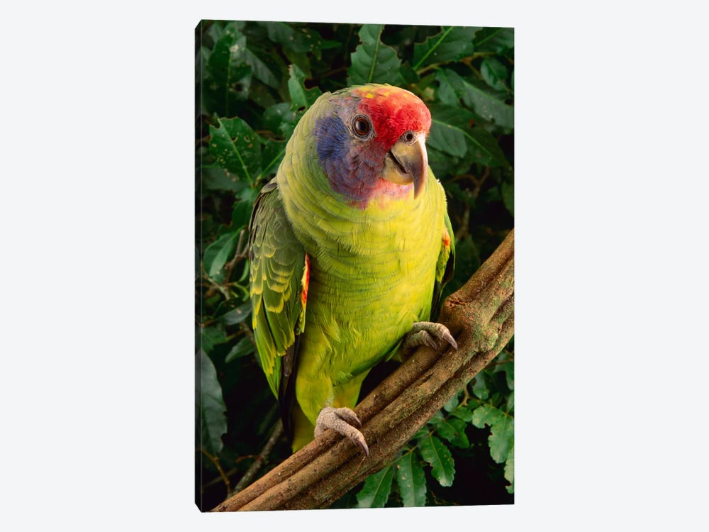 Red-Tailed Amazon Parrot, Atlantic Forest, Brazil by Claus Meyer 1-piece Canvas Print