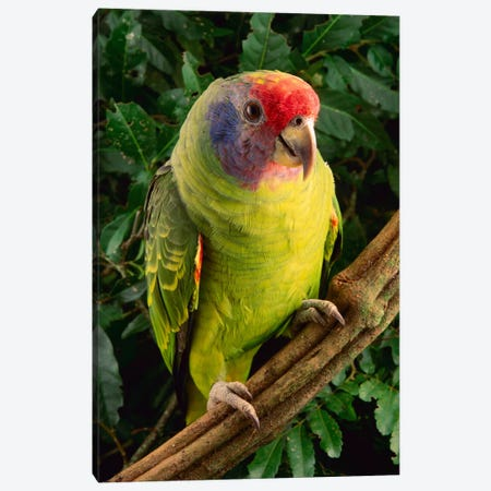 Red-Tailed Amazon Parrot, Atlantic Forest, Brazil Canvas Print #CLM1} by Claus Meyer Canvas Artwork