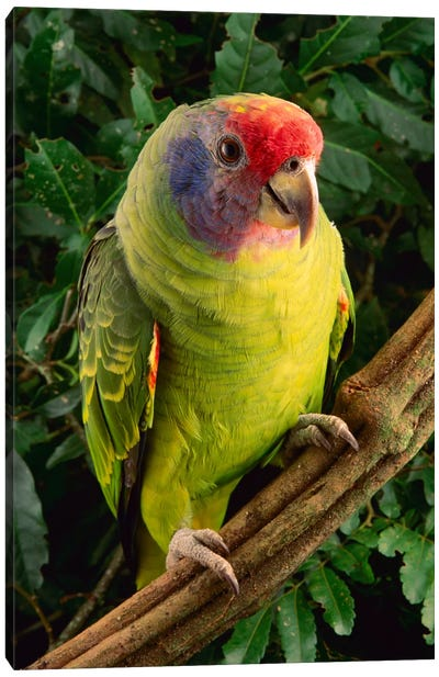 Red-Tailed Amazon Parrot, Atlantic Forest, Brazil Canvas Art Print