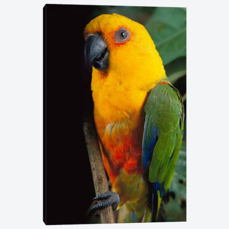 Yellow-Faced Parrot, Southern Brazil Canvas Print #CLM2} by Claus Meyer Canvas Art