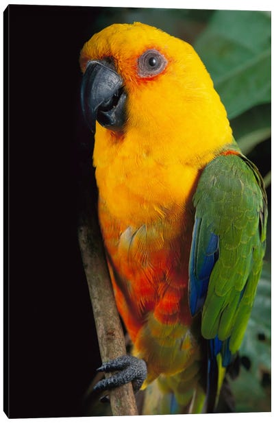 Yellow-Faced Parrot, Southern Brazil Canvas Art Print