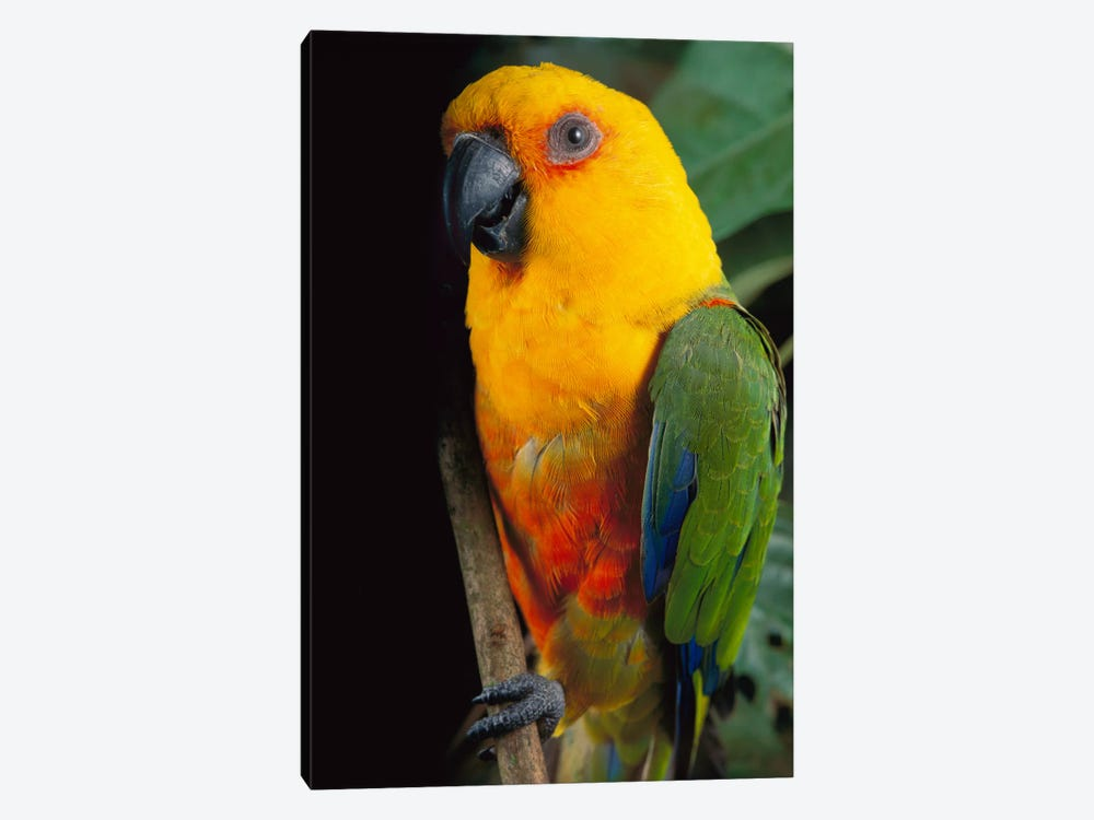 Yellow-Faced Parrot, Southern Brazil by Claus Meyer 1-piece Canvas Wall Art