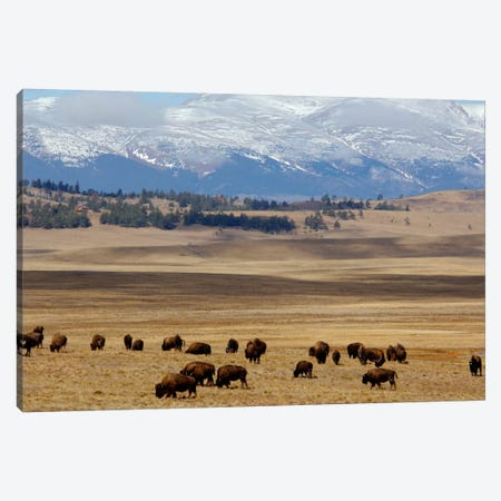 Grazing Bison (American Buffalo) Herd On The Plain, Pike National Forest, Colorado, USA Canvas Print #CMH3} by Cindy Miller Hopkins Canvas Wall Art