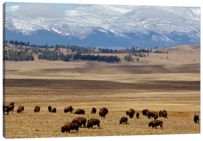 Grazing Bison (American Buffalo) Herd On The Plain, Pike National Forest, Colorado, USA Canvas Art Print