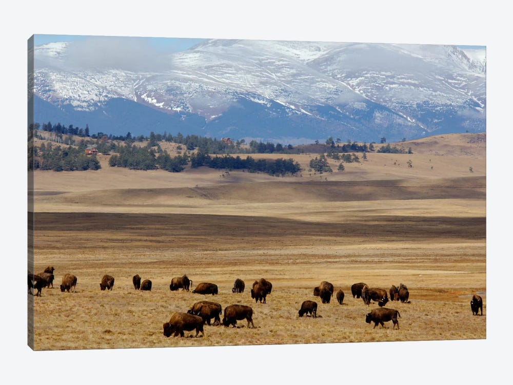 Grazing Bison (American Buffalo) Herd On The Plain, Pike National Forest, Colorado, USA by Cindy Miller Hopkins 1-piece Canvas Art Print