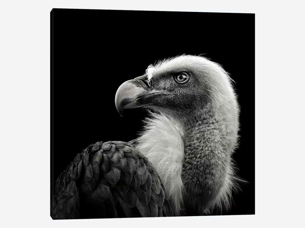 Eurasian Griffon by Christian Meermann 1-piece Art Print