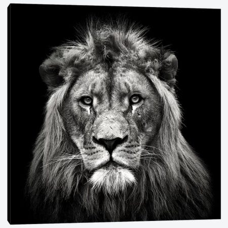Young Male Lion Canvas Print #CMM5} by Christian Meermann Canvas Artwork