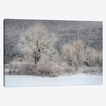USA, New York State. Morning sunlight on snow covered trees 3-Piece Canvas #CMU4} by Chris Murray Canvas Art Print