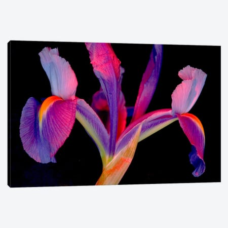 Vibrantly Colored Iris Canvas Print #COH1} by Carol Cohen Canvas Art
