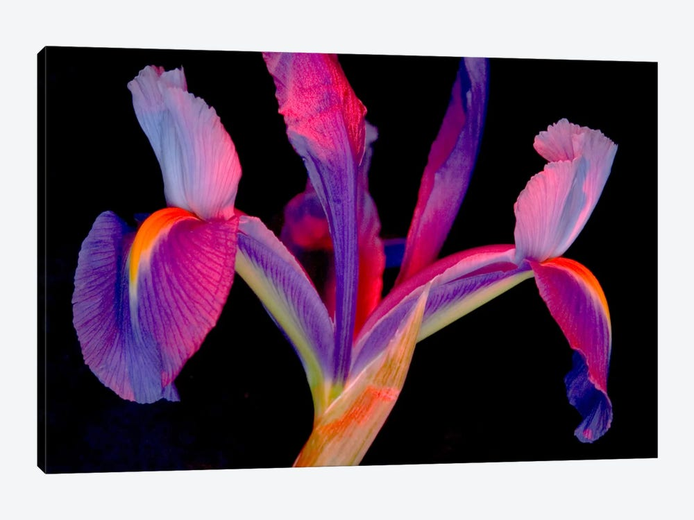 Vibrantly Colored Iris 1-piece Canvas Art