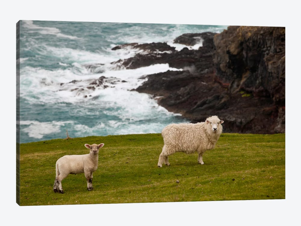 Domestic Sheep And Lamb Near Cliff Edge, Stony Bay, Banks Peninsula, Canterbury, New Zealand by Colin Monteath 1-piece Canvas Print