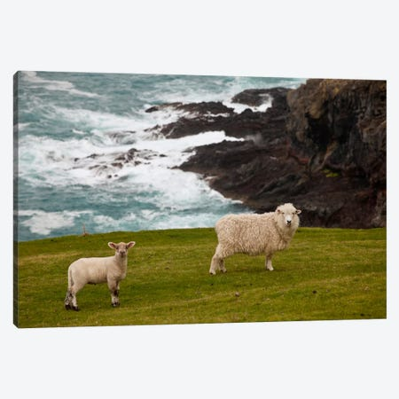 Domestic Sheep And Lamb Near Cliff Edge, Stony Bay, Banks Peninsula, Canterbury, New Zealand Canvas Print #COL14} by Colin Monteath Canvas Print