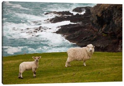 Domestic Sheep And Lamb Near Cliff Edge, Stony Bay, Banks Peninsula, Canterbury, New Zealand Canvas Art Print