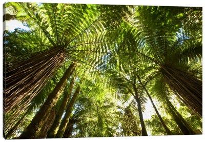Tree Fern Forest Near Haast Pass, New Zealand Canvas Art Print