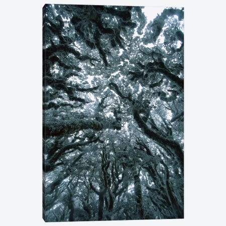 Autumn Snow On Beech Trees, Routeburn Track, Mt Aspiring National Park, New Zealand Canvas Print #COL6} by Colin Monteath Art Print