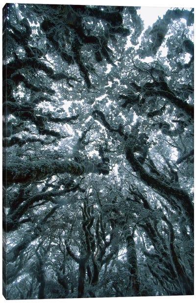 Autumn Snow On Beech Trees, Routeburn Track, Mt Aspiring National Park, New Zealand Canvas Art Print