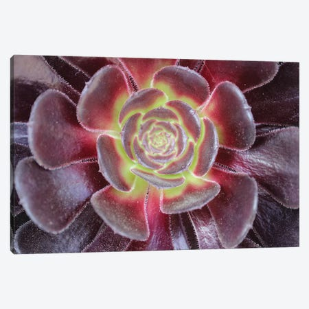 Bright Succulent Canvas Print #CPP1} by Anna Coppel Canvas Art