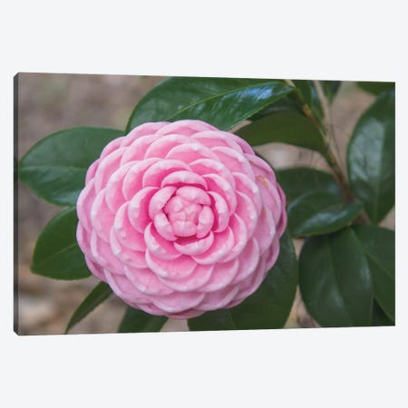 Pink Passion Camillia Canvas Print #CPP5} by Anna Coppel Canvas Print