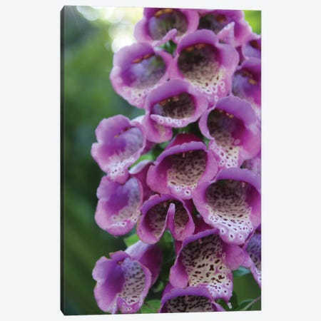 Purple Trailing Flower Canvas Print #CPP6} by Anna Coppel Art Print