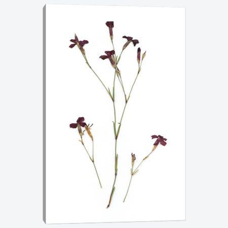 Pressed Botanical II Canvas Print #CRO1201} by Carol Robinson Canvas Wall Art