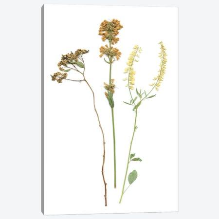 Pressed Botanical III Canvas Print #CRO1202} by Carol Robinson Canvas Art