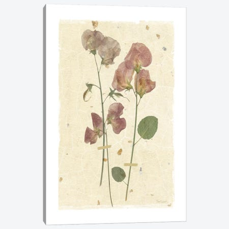 Pressed Sweetpea Canvas Print #CRO171} by Carol Robinson Canvas Art Print