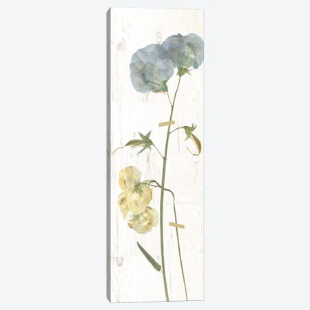 Pressed Sweet Pea I Canvas Print #CRO375} by Carol Robinson Canvas Art