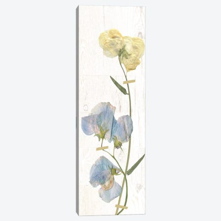 Pressed Sweet Pea II Canvas Print #CRO376} by Carol Robinson Canvas Wall Art