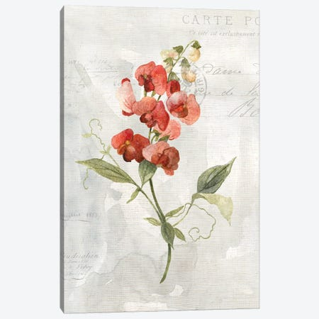 Linen Sweet Pea Canvas Print #CRO619} by Carol Robinson Canvas Art