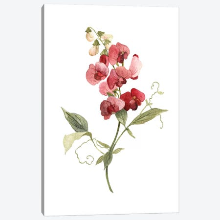 Scarlet Sweet Pea Canvas Print #CRO681} by Carol Robinson Canvas Print