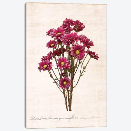 Sketchbook Chrysanthemum Canvas Print #CRP27} by Natalie Carpentieri Canvas Art