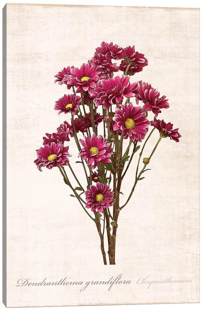 Sketchbook Chrysanthemum Canvas Art Print
