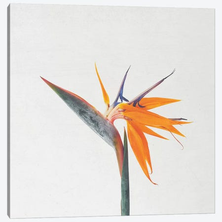 Bird of Paradise Canvas Print #CSB11} by Cassia Beck Canvas Art Print