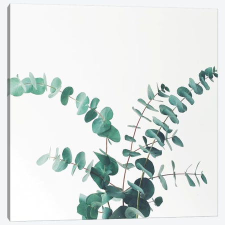 Eucalyptus II Canvas Print #CSB49} by Cassia Beck Canvas Wall Art