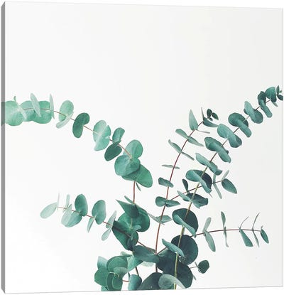 Eucalyptus II Canvas Art Print