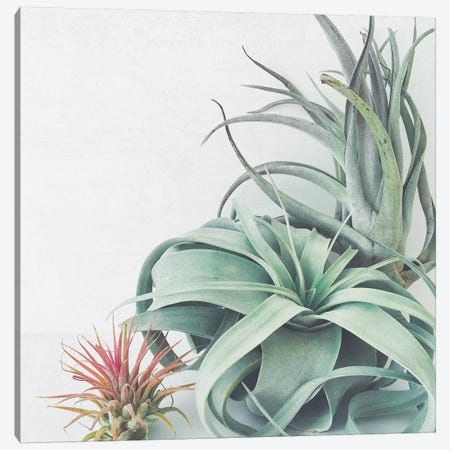 Air Plant Collection Canvas Print #CSB4} by Cassia Beck Art Print