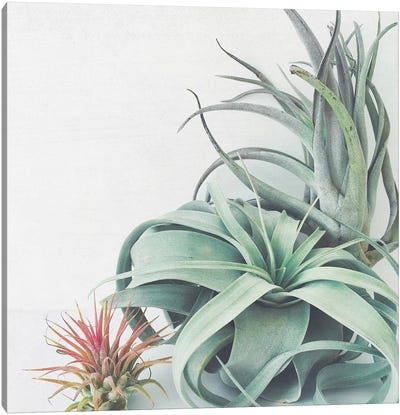 Air Plant Collection Canvas Art Print