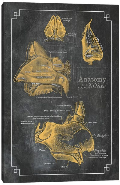 Anatomy Of The Nose Canvas Art Print
