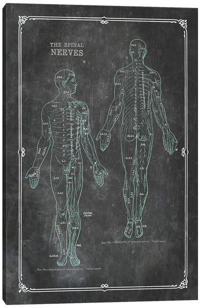 Anatomy Of The Spinal Nerves Canvas Art Print