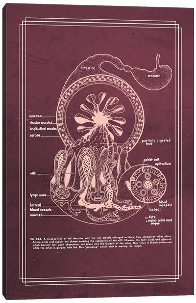 Gastrointestinal Anatomy Small Intestine Canvas Art Print