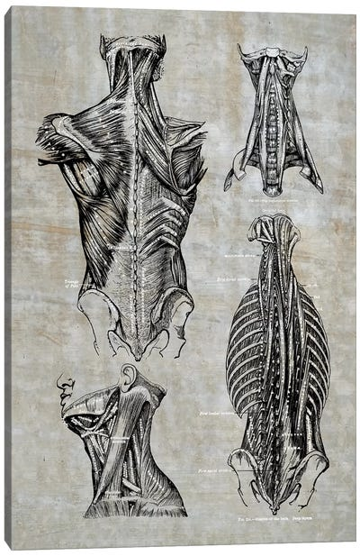 Muscles Of The Back And Neck II Canvas Art Print