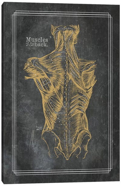 Muscles Of The Back In Bronze Canvas Art Print