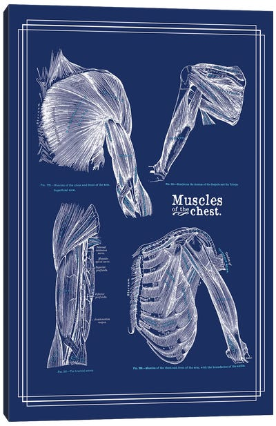 Muscles Of The Chest And Shoulder Canvas Art Print