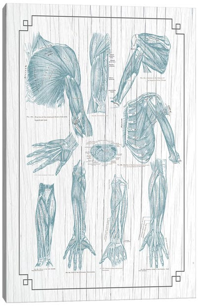 Muscles Of The Chest Shoulder Arm And Hand Canvas Art Print