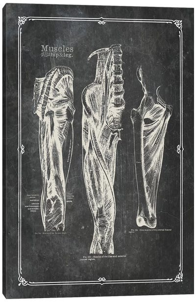 Muscles Of The Thigh Canvas Art Print