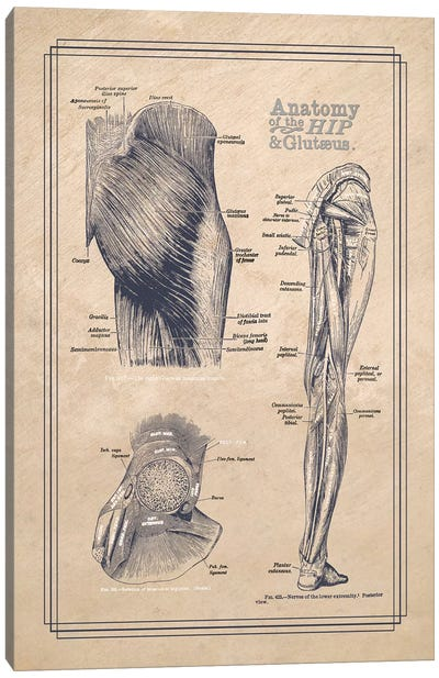 Anatomy Of The Hip And Gluteus Canvas Art Print
